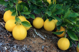 Very prolific Meyer lemon