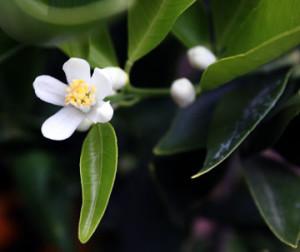 'Temple Tangor' (Royal Mandarin)  flower