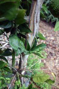Peeling bark. Citrus cold damage