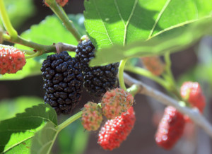 Plump ripe and unripe White Persian Mulberry