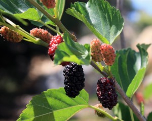 Ripe and unripe White Persian Mulberry