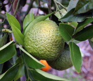 Ripening 'Temple Tangor' (Royal Mandarin)