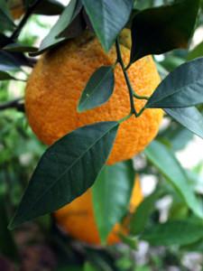 hanging ripe fruit of the 'Temple Tangor' (Royal Mandarin)