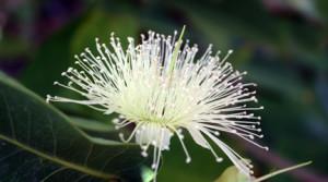 Awesome Wax Jambu Flower