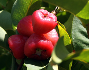Mature Wax Jambu ready to pick