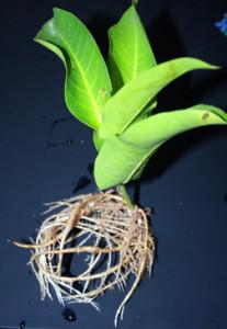 Rooted Wax Jabmu Cutting