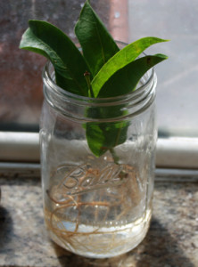 Rooting Wax Jambu cutting inside kitchen window.