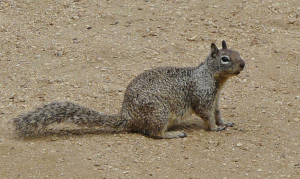 Photo credit: http://forums.steves-digicams.com/biweekly-shoot-out/201082-animals-ca-ground-squirrel.html#b
