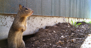 Squirrels love to live under large rocks and structures. The one in this picture moved into an opossum den under a building. http://www.nhm.org/nature/nature_blog_archive/2012