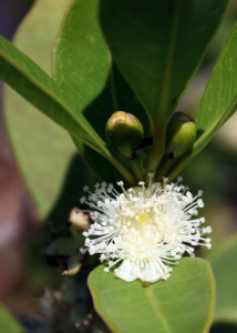 Lemon guava flower and flower buds