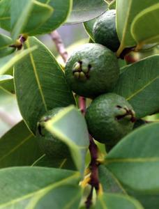Unripe green lemon guava fruit