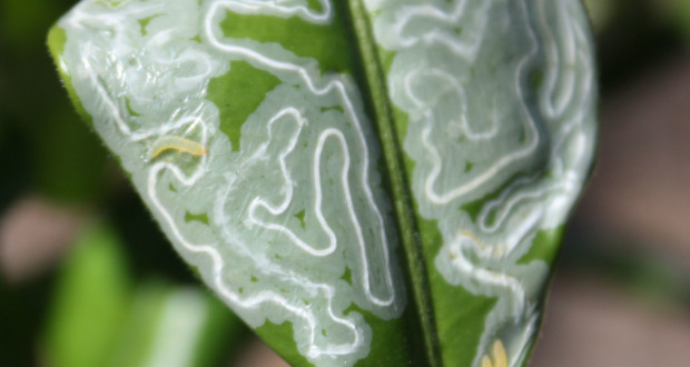 Citrus Leafminer Season Has Started Early