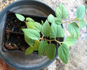 Aratiles tree (Muntingia Calabura) propigation 3.25.15