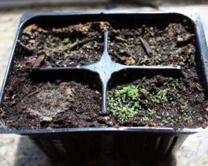 Aratiles tree (Muntingia Calabura) propigation 9.18.14