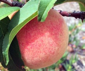 Ripe Tropic Snow peach
