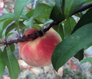 Best white peach
