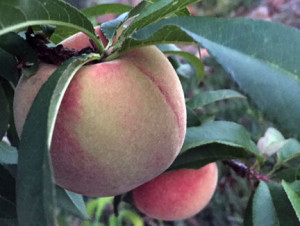 Tropic Snow Peach ready to pick