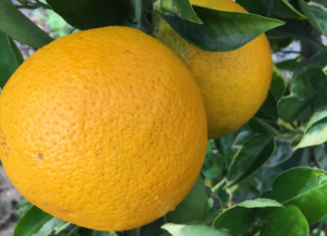 Big Variegated Valencia Orange. Up to 4 inches in diameter.