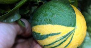 Variegated Valencia Orange care