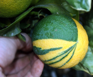 Variegated Valencia Orange care