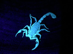 Scorpion in home