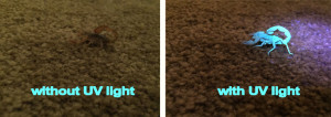 scorpion fluorescence