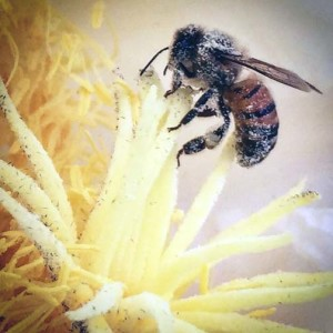 Close up of a bee covered in pollen sitting on the stigma of the dragon fruitflower