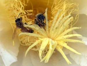 Close up of bees pollinating the dragon fruit flower