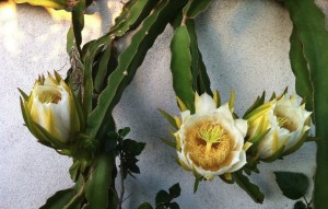 Dragon Fruit Flowers opening. Photo credit Fellow reader Stefanie from Southern California