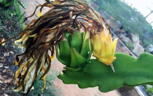 What dragon fruit looks like that will fall off
