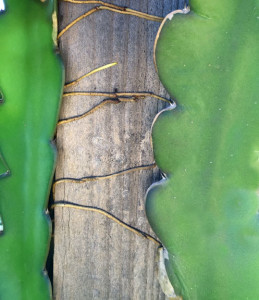 Dragon fruit rootlets grabbing onto a redwood post