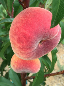 Galaxy white peach is a also a flat peach variety. Many report that is needs 500 - 600 hours of chilling so it is not officially on this list. However, I have one growing and fruiting in Northern Sand Diego