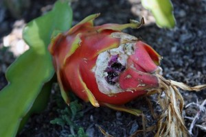 Rodent damage on Dragon Fruit that was sitting on the ground. This location is just too easy for the rodents to take a curious bite of something they have never seen before.