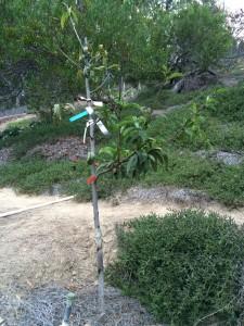 peach limb dieback