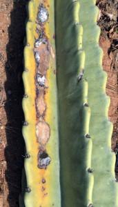 Cacti disease Hylocereus