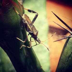 Bug spreads dragon fruit, Hylocereus, and Cereus cactus disease