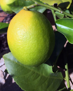 A half yellow Meyer Lemon. The stalk is bent and just looks like it wants to be plucked