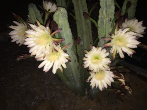 Cereus in full nighttime bloom
