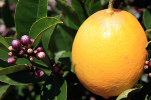 Ripe meyer lemon and flower buds.2