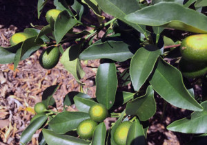 Developing Kumquat fruit showing signs of sunburn