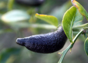 Curved finger lime fruit likely from poor pollination