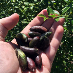 FInger limes and foliage