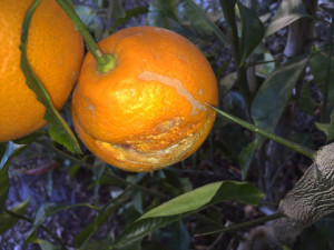 Tarocco Blood Orange cultivation