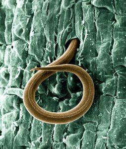 root-knot nematode