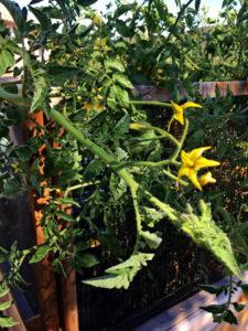Tomato propagation