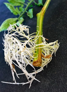 tomato cutting roots