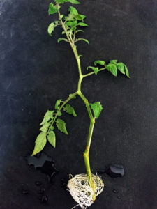 propagating tomatoes from cuttings
