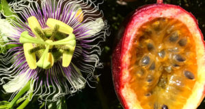 How To Grow Passion Fruit