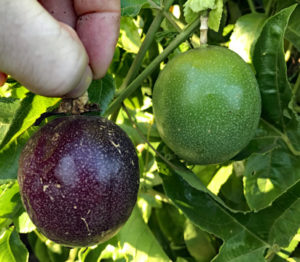 Growing passion fruit